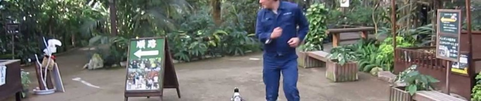 Sakura: il pinguino-stalker