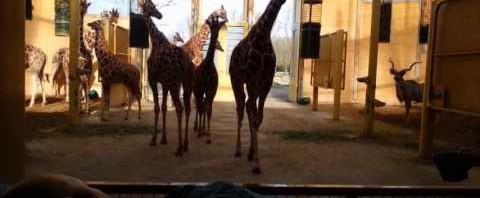 Giraffa bacia il custode dello zoo malato